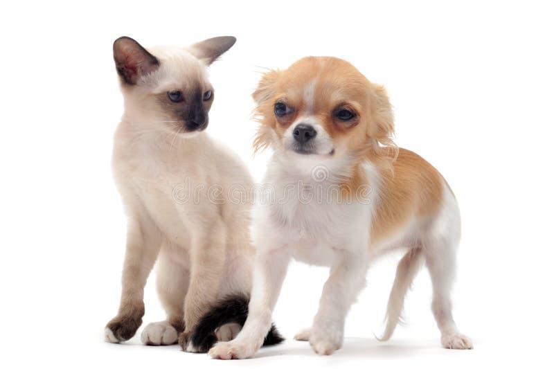Welpen-Chihuahua und -kätzchen stockbilder