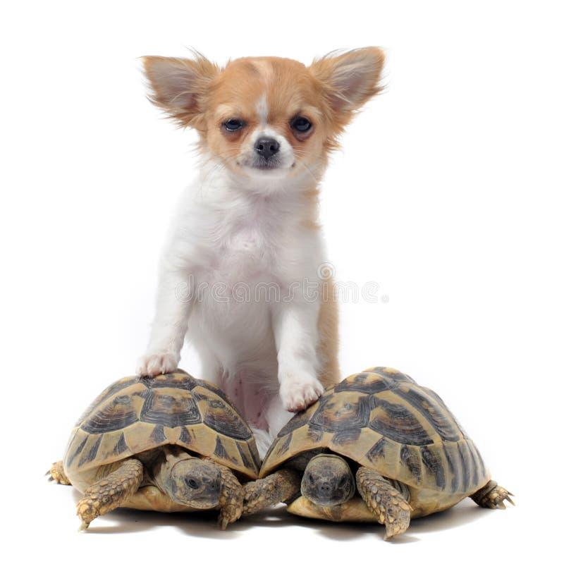 Welpen-Chihuahua und -schildkröten stockfotos