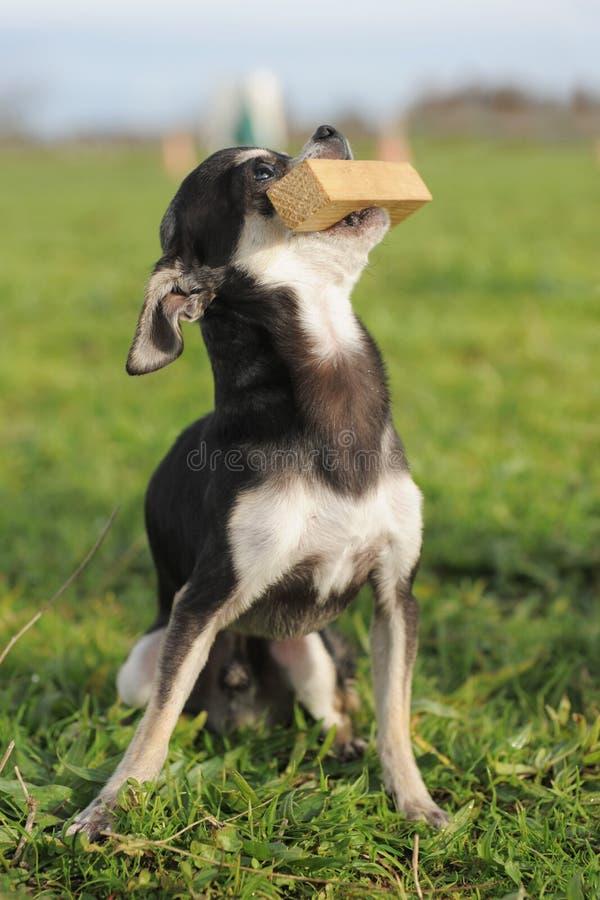 Welpen-Chihuahua und -steuerknüppel stockfoto