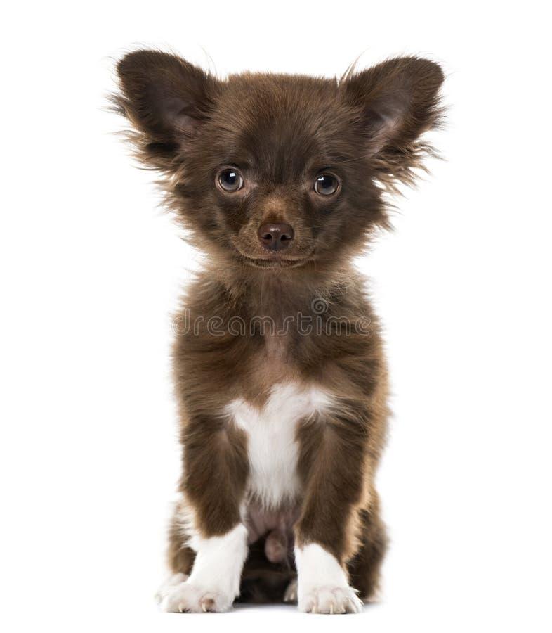 Welpen-Chihuahua, welche die Kamera, auf Weiß betrachten lizenzfreie stockbilder