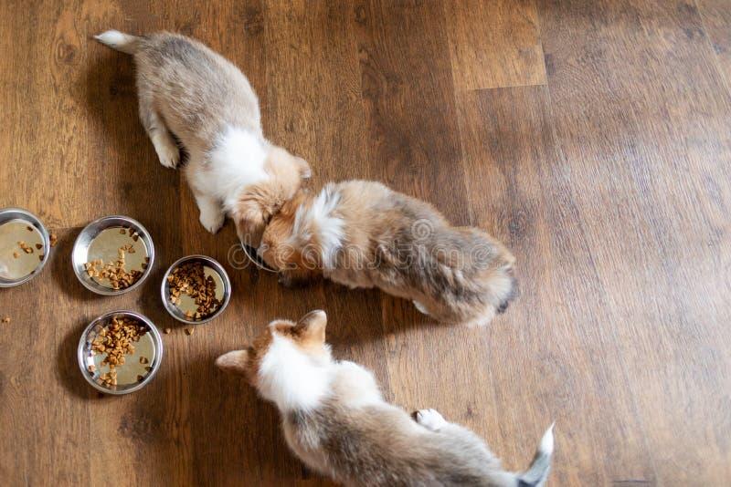 Welpen, die Lebensmittel in der Küche von den Schüsseln essen Nettes Welpenessen stockbilder