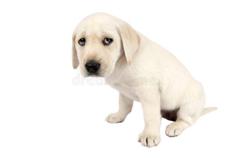 Welpen-Labrador-Apportierhund lizenzfreie stockfotografie
