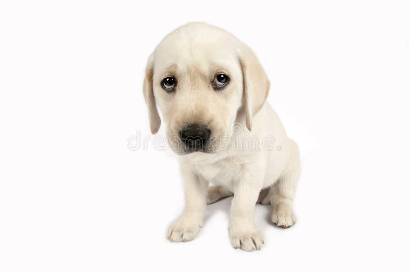 Welpen-Labrador-Apportierhund lizenzfreies stockbild