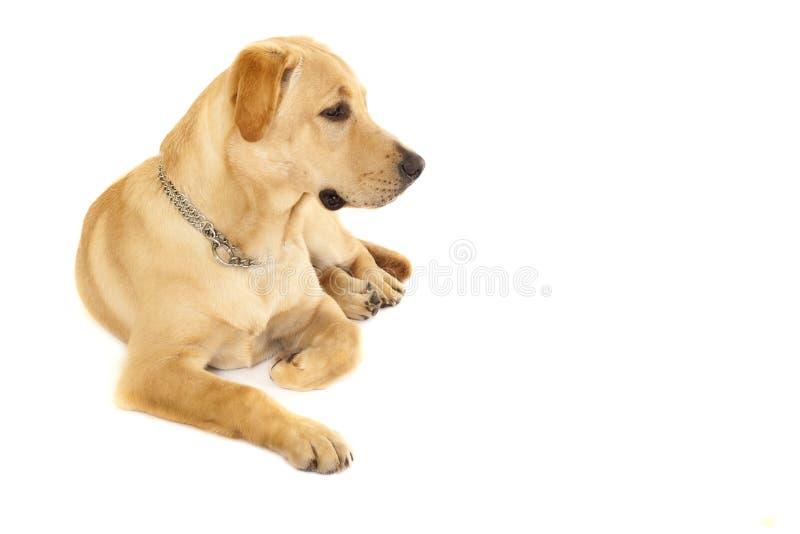Welpen-Labrador-Apportierhundsahne stockbild