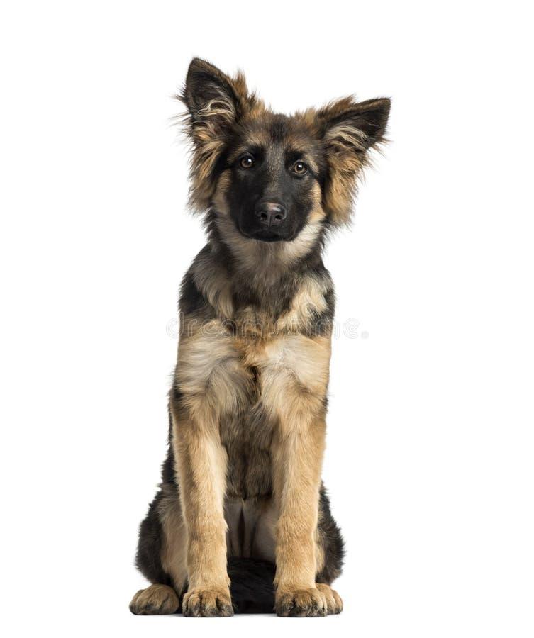 Welpen-Schäferhund-Dog-Sitzen, 4 Monate alte lizenzfreie stockbilder