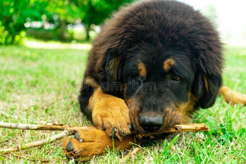 Welpen-tibetanischer Mastiff beißt einen Stock, der auf dem Gras liegt stockfotografie