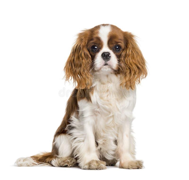 Welpen-unbekümmerter König Charles Spaniel, Hund lizenzfreie stockfotografie
