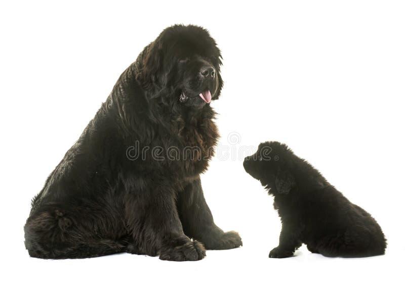 Welpen- und Erwachsenneufundland-Hund lizenzfreie stockfotos