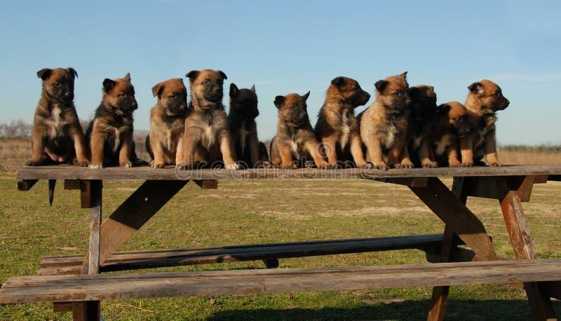 Welpenbelgierschäferhunde stockfoto