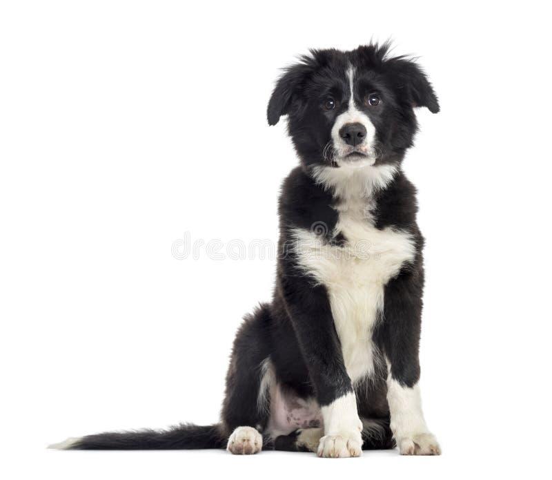 Welpenborder collie-Hund, 3 Monate alte, Sitzen, lokalisiert auf Whit lizenzfreie stockfotos