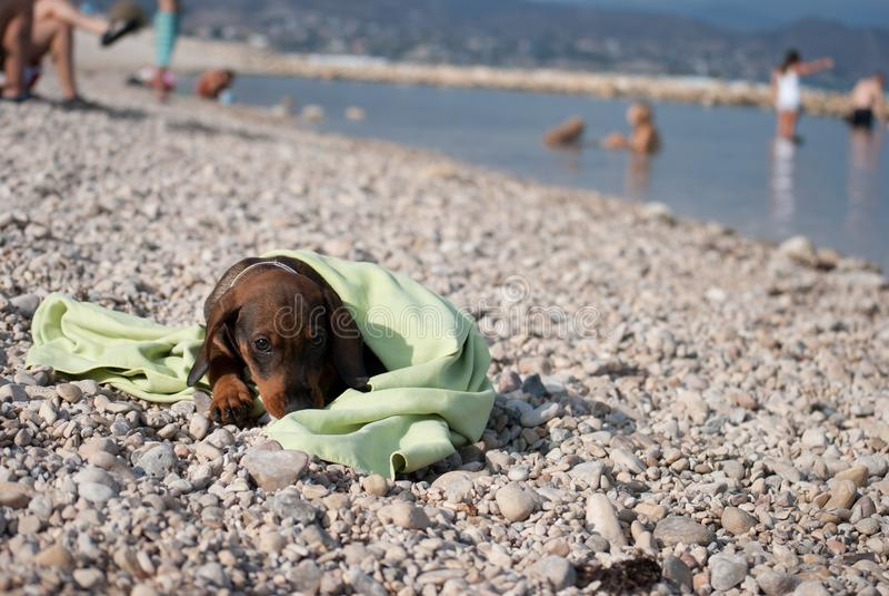 Welpendachshund, der auf stoney Strand liegt lizenzfreies stockfoto