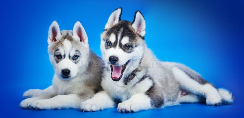 Welpengruppe des sibirischen Huskys lizenzfreie stockfotografie