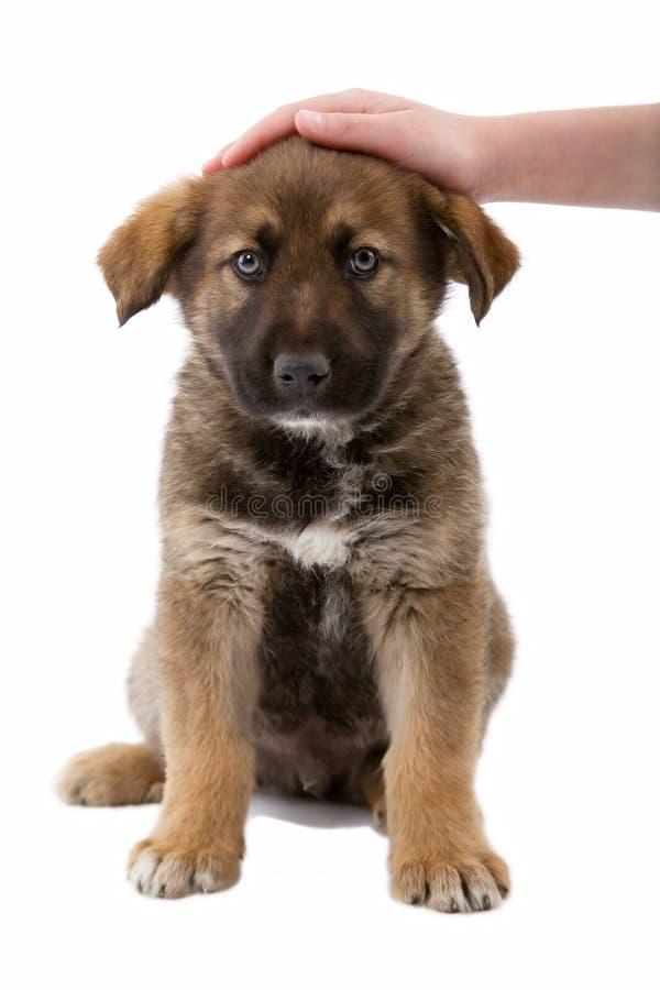 Welpenhund genießt gestrichen zu werden lizenzfreie stockbilder