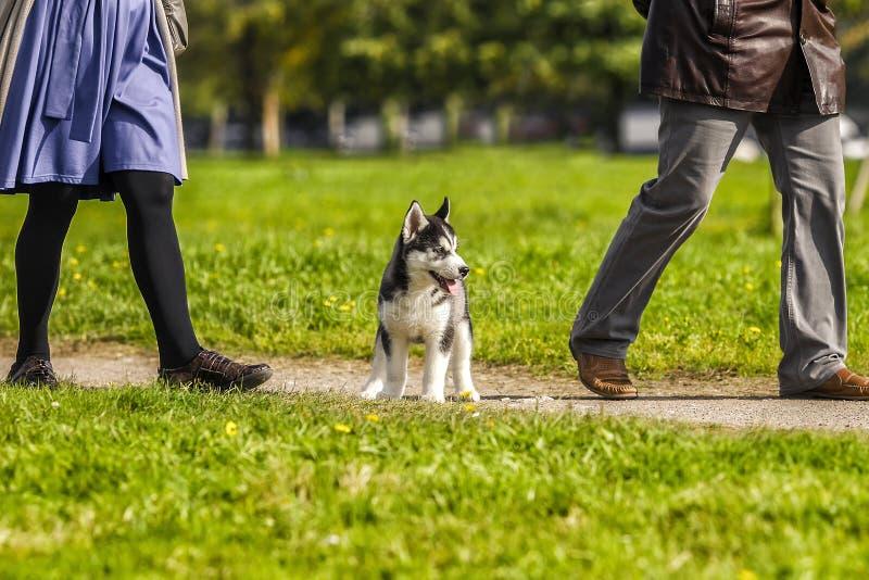 Welpenschlittenhund ist nicht die Weise am owner& x27; s-Füße lizenzfreies stockbild