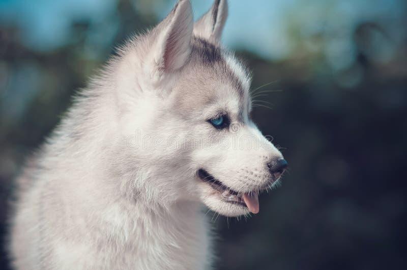 Welpenseitenporträt der blauen Augen Reinrassiges Tier des sibirischen Huskys grau und lizenzfreie stockfotografie