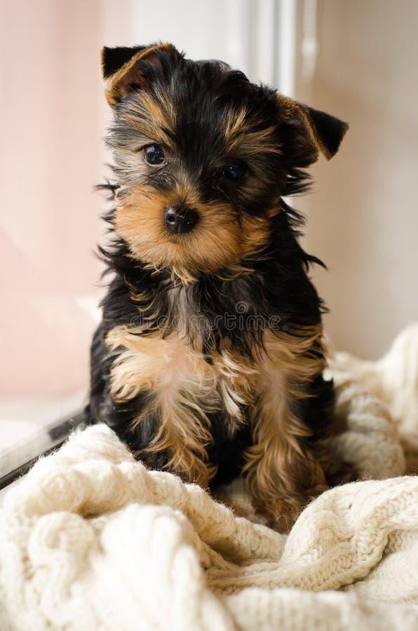 Welpensitzen Yorkshires Terrier, 3 Monate alte, lokalisiert auf Weiß strickte Decke stockfoto