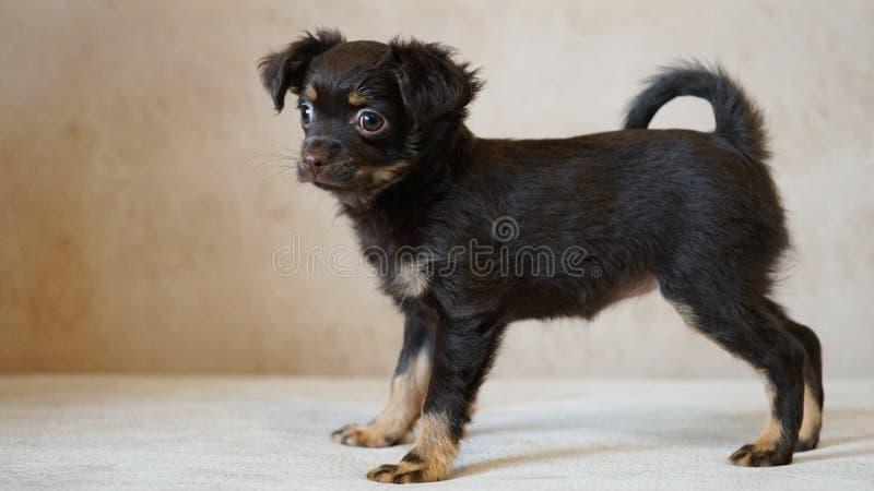 Welpenspielzeug Terrier Russischer Spielzeugterrier auf beige Hintergrund stockbilder