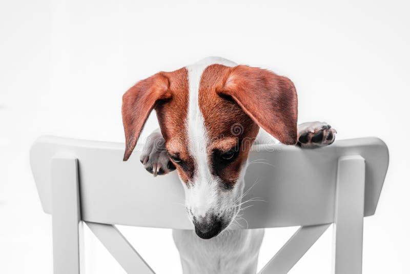 Welpensteckfassung Russell-Terrier stockfotos