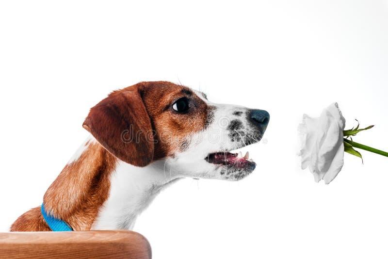 Welpensteckfassung Russell-Terrier lizenzfreie stockbilder