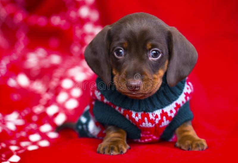 Welpenweihnachtendachshund lizenzfreies stockfoto