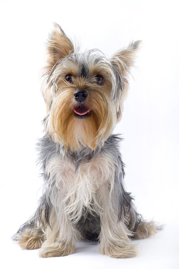 Welpenyorkshire-Terrier, der die Kamera betrachtet lizenzfreie stockfotos