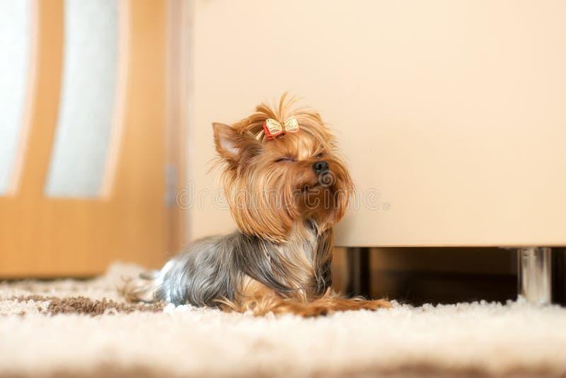 Welpenyorkshire-Terrier Innen lizenzfreie stockbilder