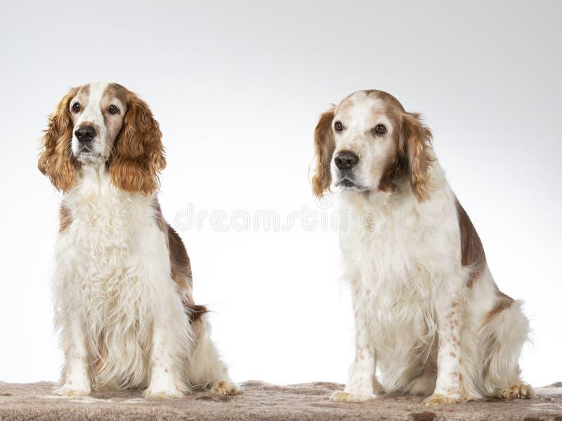 Wels de hondportret van het Aanzetsteenspaniel royalty-vrije stock foto's