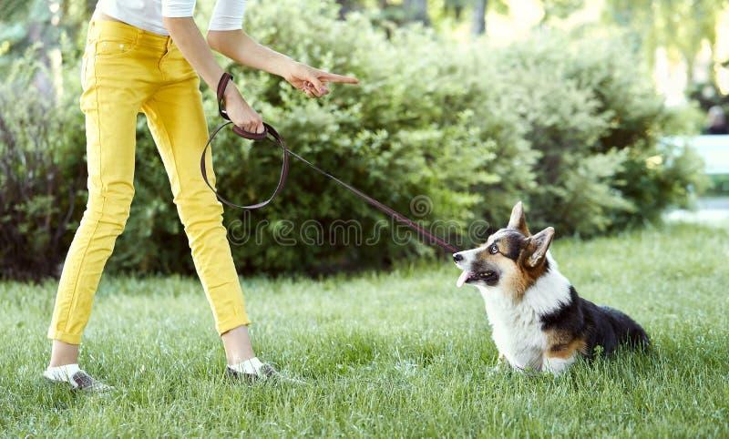 Welse Corgi-hond die voor slecht gedrag door eigenaar die met vinger worden gestraft op hem richten royalty-vrije stock foto