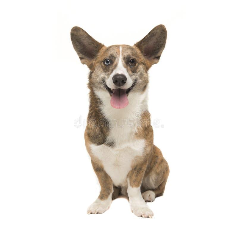 Welse corgi pembroke volwassen die hond van de voorzijde wordt gezien die ca onder ogen zien royalty-vrije stock afbeelding
