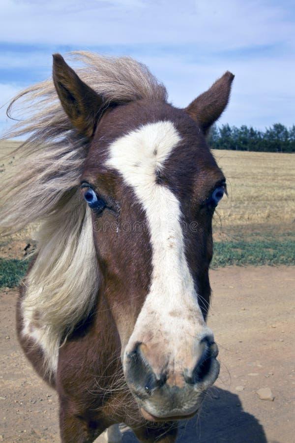 Welse poney royalty-vrije stock foto