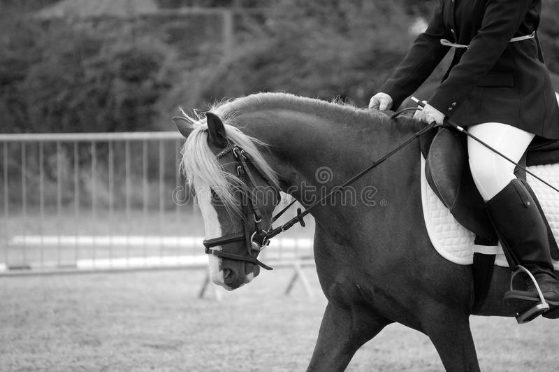 Welsh B Pony Royalty Free Stock Photography