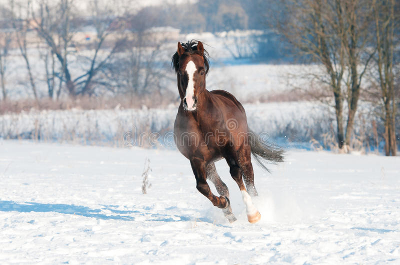 Download Welsh Brown Pony Stallion Runs Gallop In Front Stock Image - Image of free, field: 23930213