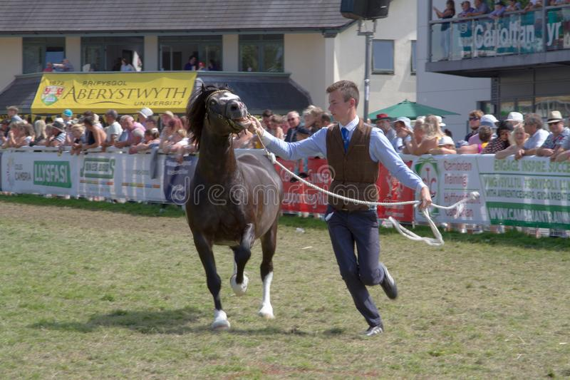 A Welsh Cob being displayed at the Royal Welsh Show. This image shows a Welsh Cob being run in front of the grandstand at the Royal Welsh Show in Llanelwedd stock images