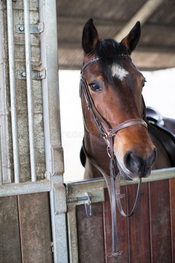 Welsh Cob Horse Looking Over Stable Door. Welsh Cob Horse Looks Over Stable Door stock images