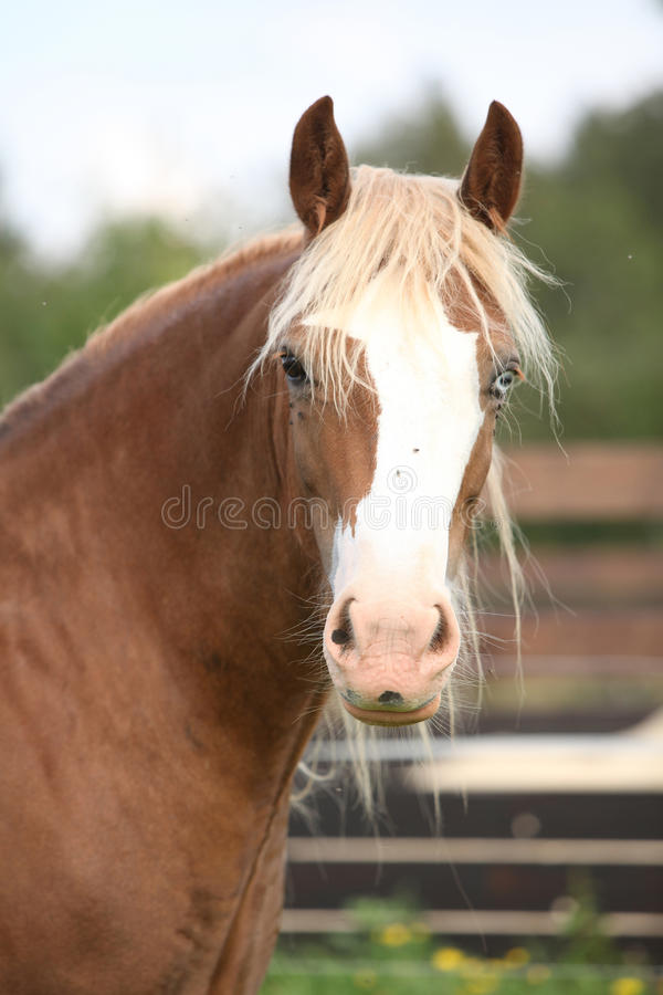 Welsh cob looking at you. Nice welsh cob looking at you on pasturage royalty free stock photo
