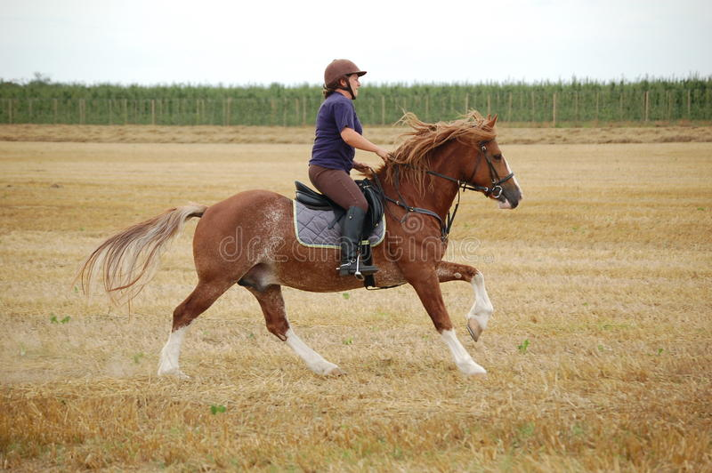 Welsh Cob pony. Ruska Rowan, Welsh Cob stallion, being ridden by his amazon stock photography
