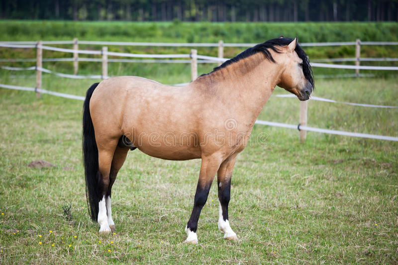 Welsh Cob pony on the field. Welsh Cob pony standing on the field royalty free stock photo