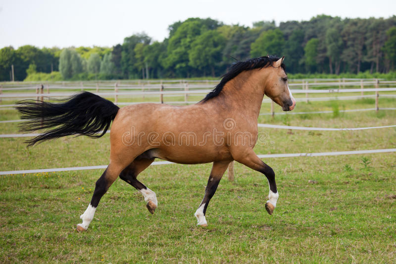 Welsh Cob pony. Galopped over the paddock royalty free stock photography