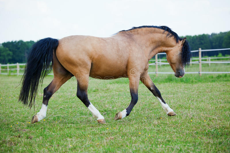 Welsh Cob pony on the paddock. Pride Welsh Cob pony walking on the field royalty free stock image