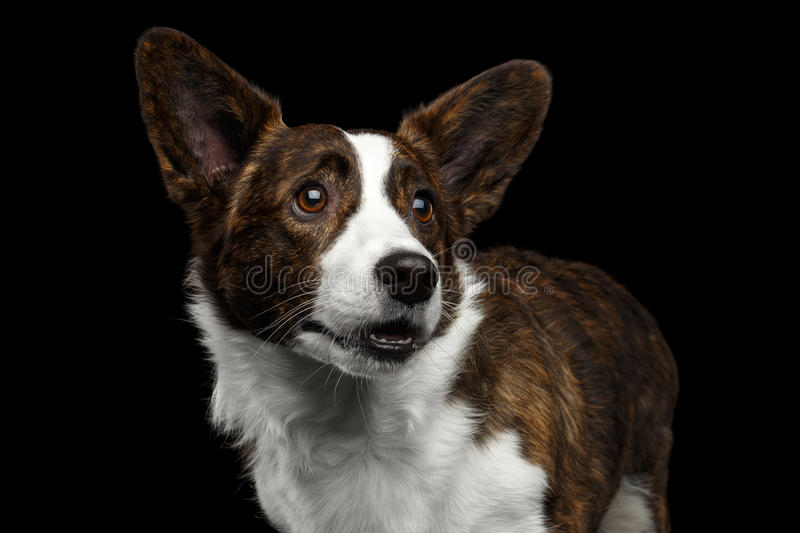 Welsh Corgi Cardigan Dog on Isolated Black Background. Close-up portrait of Brown with white Welsh Corgi Cardigan Dog, Funny face looking up on Isolated Black royalty free stock photography