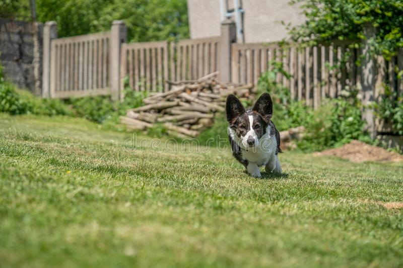 Welsh Corgi Cardigan tricolor with brindle points, running in garden. Portrait of Welsh Corgi Cardigan royalty free stock image