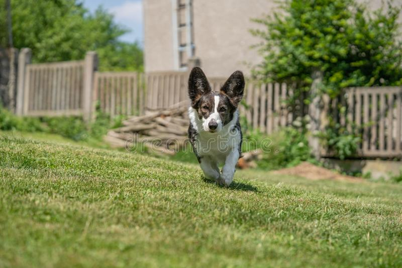 Welsh Corgi Cardigan tricolor with brindle points, running in garden. Portrait of Welsh Corgi Cardigan stock photography