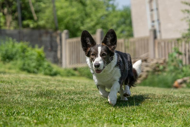 Welsh Corgi Cardigan tricolor with brindle points, running in garden. Portrait of Welsh Corgi Cardigan stock images