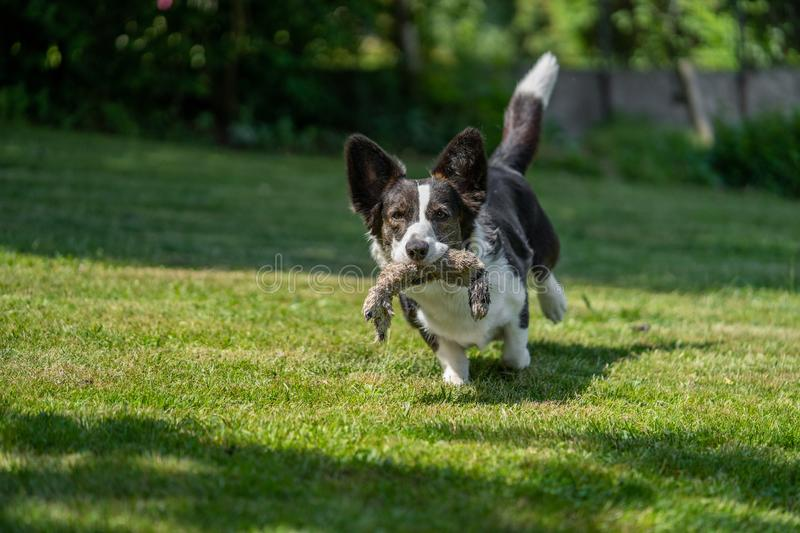 Welsh Corgi Cardigan tricolor with brindle points, running in garden. Portrait of Welsh Corgi Cardigan stock image