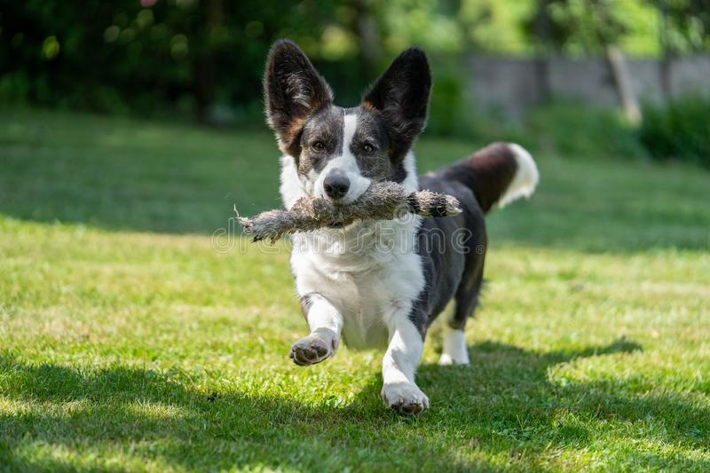 Welsh Corgi Cardigan tricolor with brindle points, running in garden. Portrait of Welsh Corgi Cardigan royalty free stock images