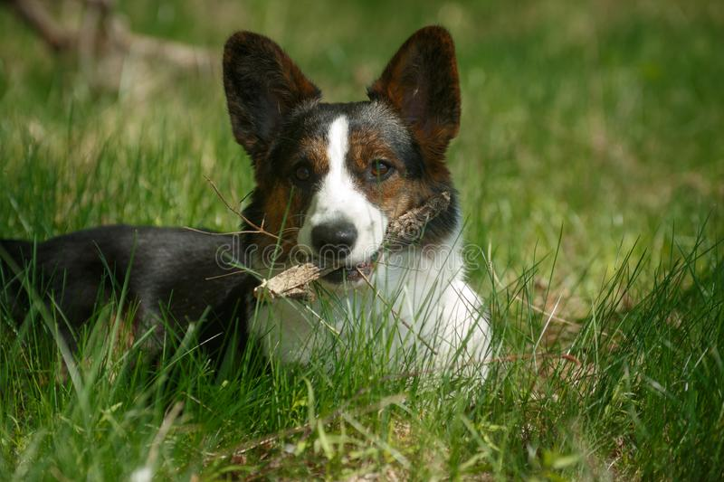 Welsh Corgi Cardigan Dog Shows Tongue. Welsh Corgi dog breed cardigan sits on the grass and shows tongue stock images