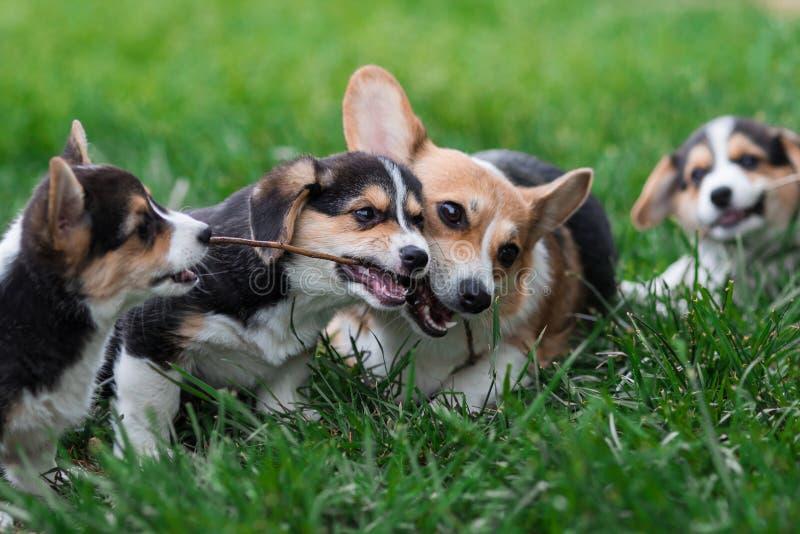 Welsh Corgi Dog Family Playing in Park on Green Grass. Pembroke Corgi Puppy Having Fun Outdoors stock photography