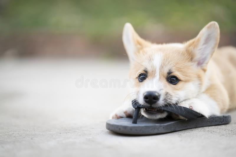 Welsh corgi dog pembroke puppy playing or bite owners shoes or flip flop royalty free stock photo