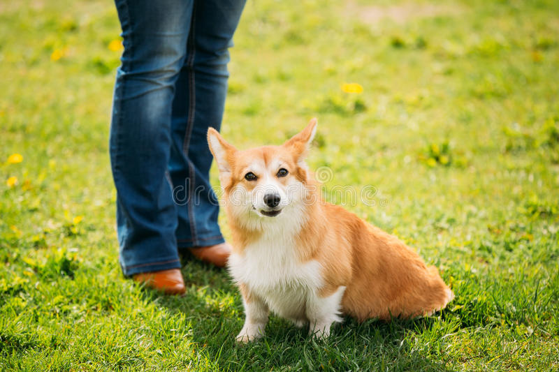 Welsh Corgi Dog Puppy Sitting At Feet Of Owner In Green Summer Grass stock images