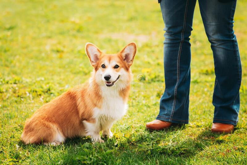Welsh Corgi Dog Puppy Sitting At Feet Of Owner In Green Summer Grass. Pembroke Welsh Corgi Dog Puppy Sitting At Feet Of Owner In Green Summer Grass. The Welsh stock photography